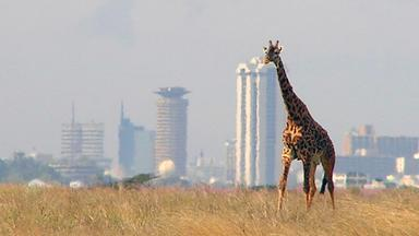 Giraffe at Nairobi National Park with the Nairobi skyline in the background
